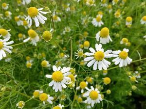 Chamomile Flower Extract -Apigenin 0.8% 1.2% 50% 98%