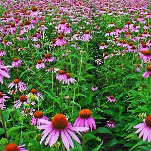 Echinacea Purpurea Extract 4% Polyphenol UV (25kg Drum)