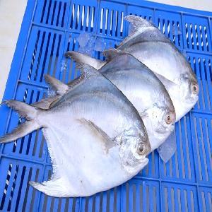 Fresh silver pomfret fish/ Pomfret fish