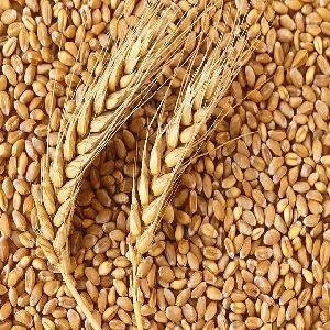 Wheat Grain, Soft , Milling Wheat, Durum Wheat