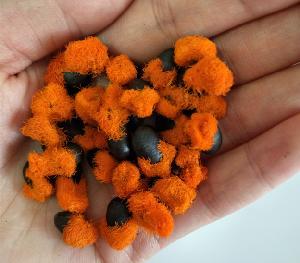 Strelitzia Nicolai seeds