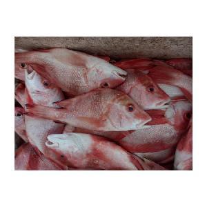 Fresh Frozen Red Snapper Emperor Fish