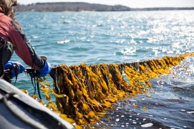 13.8g Original Flavor Seasoned Instant Healthy Seaweed for Children