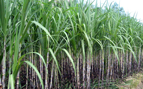 Sugarcane Molasses Liquid Cattle Feed with Cheap Price Ms. Holiday