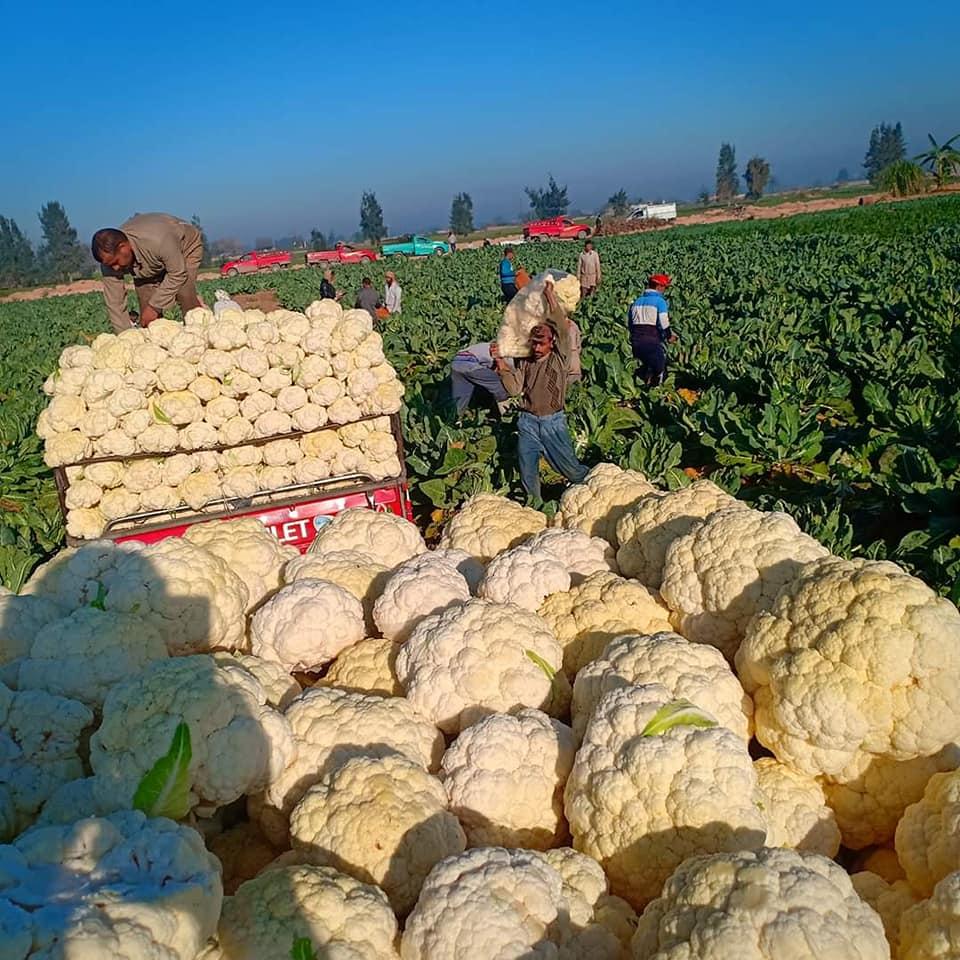 2020 new crop Egyptian fresh cauliflower supply all the year round