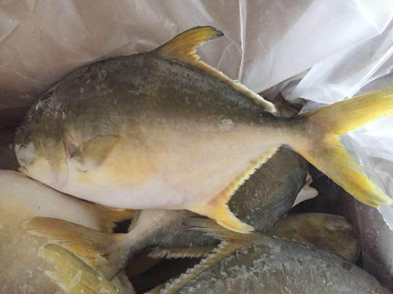 wholesale seafood Frozen Golden Pompano Fish