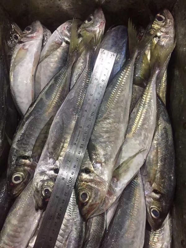 Frozen Horse Mackerel Trachurus Japonicus atlantic horse mackerel
