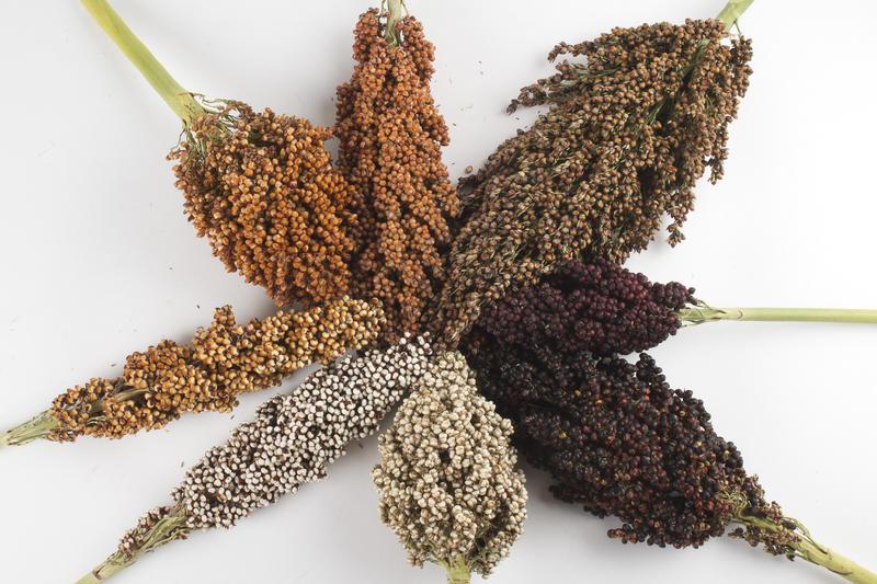 Best Selling Premium Wholesale Bird Feed Seeds Of Ukrainian origin White Sorghum