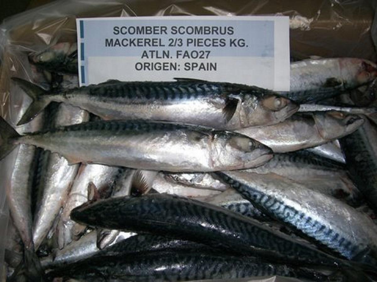 Frozen Atlantic Mackerel Fish Scomber Scombrus