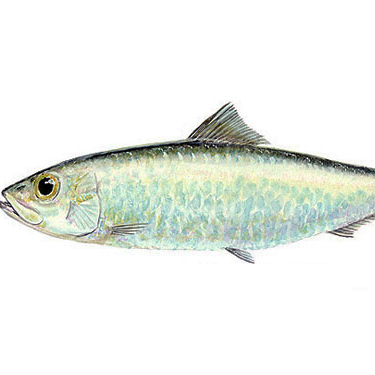 sardine fish frozen seafood wholesale