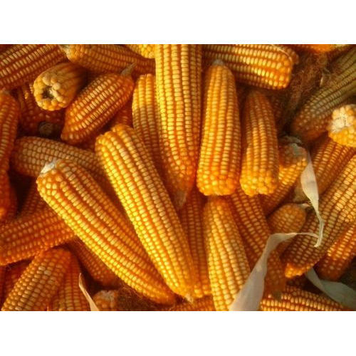 Dry Maize/Dried Yellow Corn/Dried Sweet Corn
