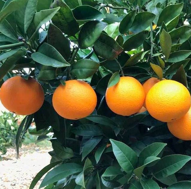 100% High Quality Fresh Valencia Oranges Ready for Export
