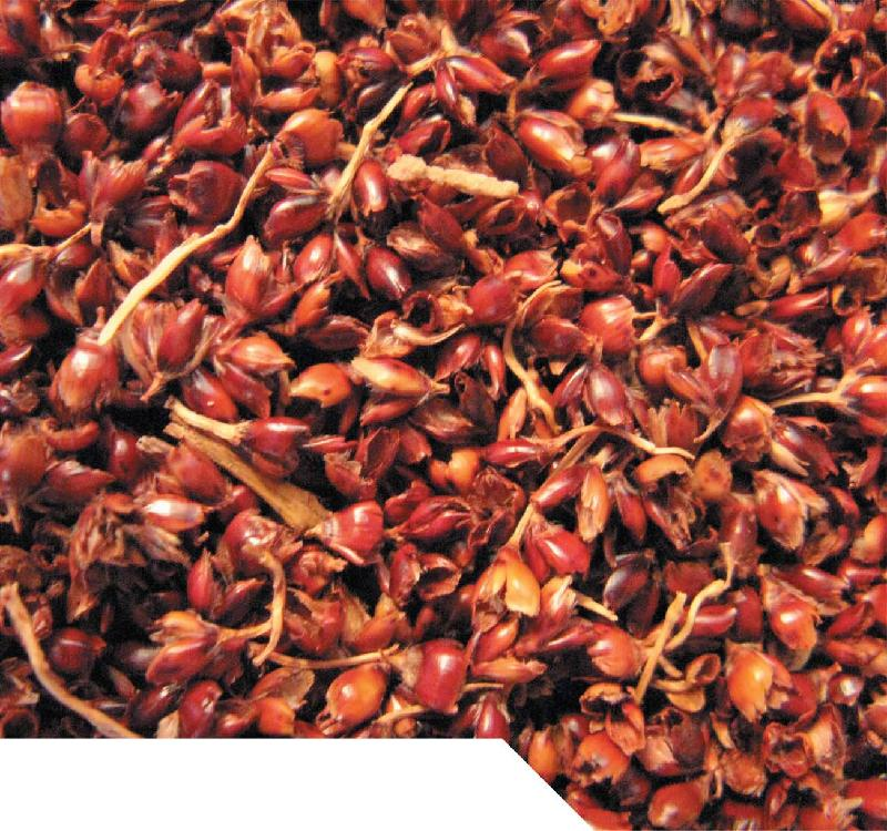 Sorghum (Kaoling) Red Color