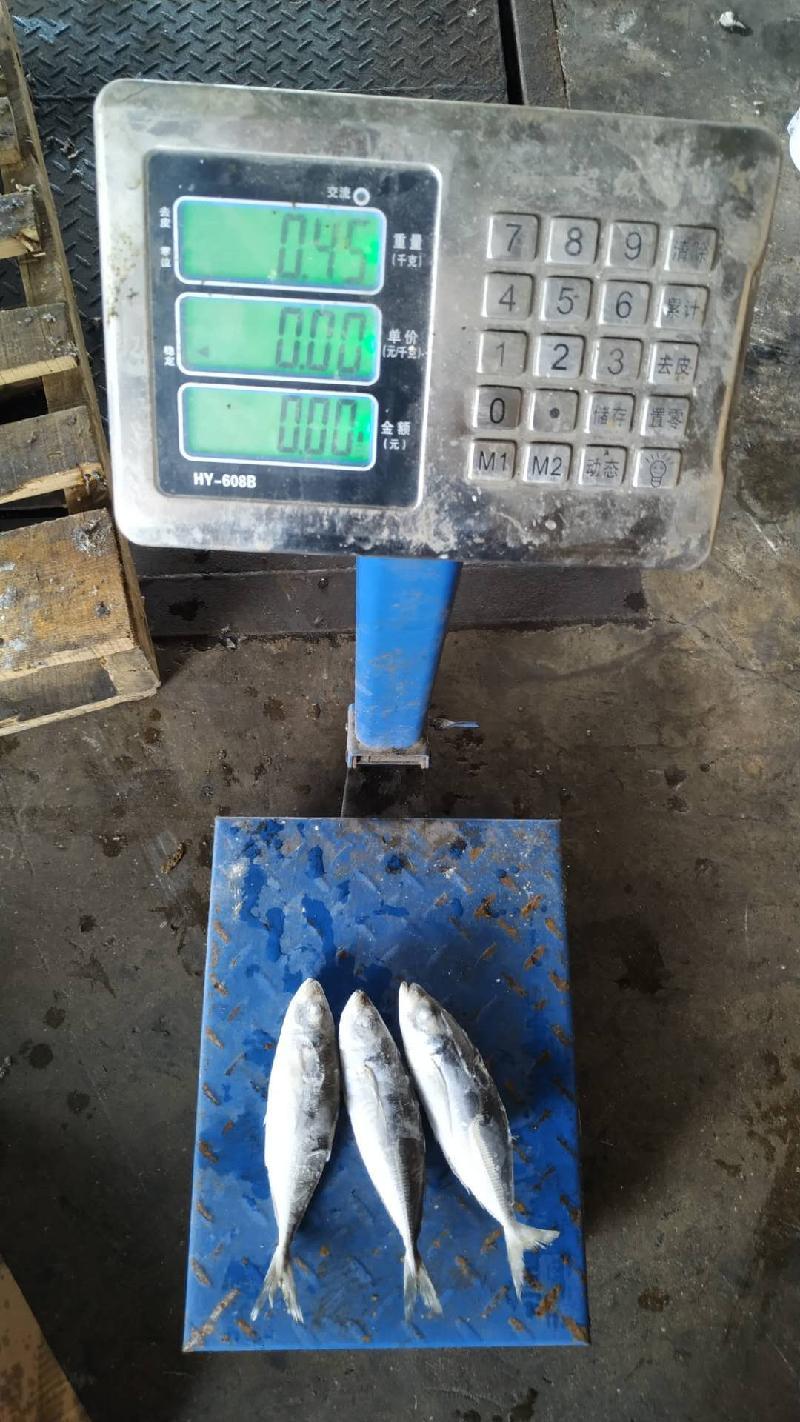 Seafrozen Horse/Jack mackerel WR 6-8pc/kg
