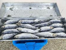 Frozen herring WR