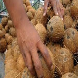 Fresh Semi  Husked  Coconut Exporters In India To Belgium / Germany / Vietnam