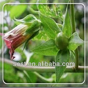 Belladonna Extract herba natural medicine