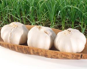 China Cheap Price Fresh Garlic White Garlic Normal White Garlic