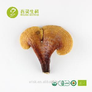New product ganoderma  mushroom