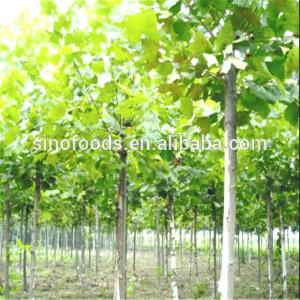 Fa Tong China Supplier Popular Platanus Seeds for  Outdoor   Plants