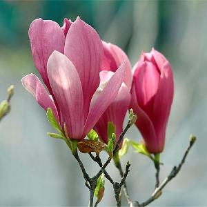 Zi Yu Lan Popular Cheap Magnolia Liliflora Seeds Plants  Nursery