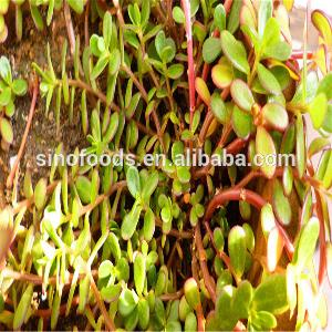 Ma Chi Xian China Supplier Popular Vegetable  Buy  Purslane  Seeds