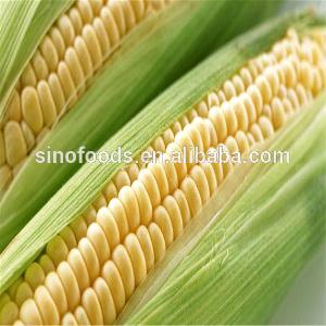 Tian Yu Mi Popular Best Price Sweet  Corn   Seed  F1  Hybrid