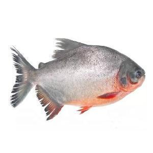 #frozen  red  pacu good price  whole   round   fish