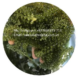 SUPPLY LARGE QUANTITY GREEN CAVIAR/ SEA GRAPES SEAWEED FROM VIETNAM (Ms.Thi Nguyen +84 988872713)