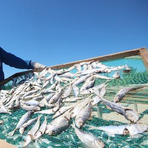 WHOLE ROUND BIG EYE SCAD FISH FROM VIETNAM