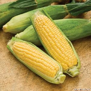HIGH QUALITY FROZEN SWEET CORN WITH THE BEST PRICE Whatsapp +84 707330069