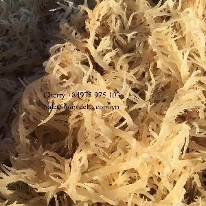 Farm Supply Gold Sea Moss/ Irish Moss From Vietnam Ocean/ Ms.Cherry  +84 975 975 103