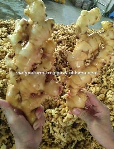 Fresh Ginger for essential oil extract