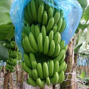 Wholesale A Huge Fresh Banana - High Standard - Low Price for exporting 2020