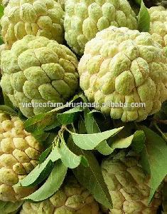 Fresh  Custard   Apple   Fruit  from Vietnam