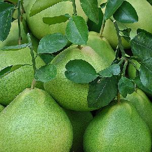 Fresh Green/Yellow  Sweet   Pomelo  with the Best Price