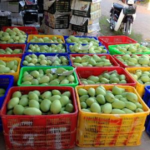 Cheap Fresh Yellow Mango Fruit in Viet Nam
