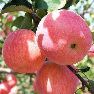 2020 new fresh fruits red Fuji apples