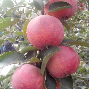 2020 high quality fresh apple