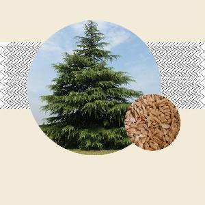 cedrus deodara seeds products,India cedrus deodara seeds ... Kashmiri Saffron Corms For Sale