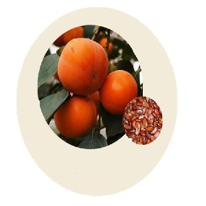 High Yield Chinese Persimmon Tree Seeds for Growing
