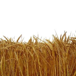Best Quality Wheat Grain for Sale at Cheap Price