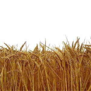 Hot Sale Cheap Wheat Grain