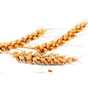 Hot Sale Organic Wheat Grain Wheat Grain