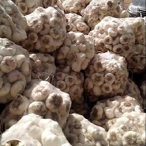 Fresh White Garlic , Purple Garlic for sale ready to export from Egypt season 2020