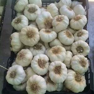 Fresh Natural Garlic White/Red best price