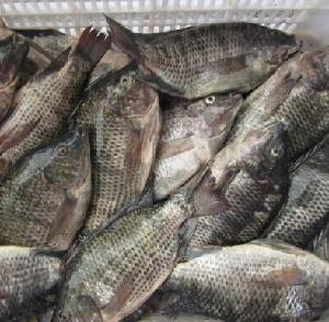 Hot sales price  Whole  Tilapia  Round   Fish ,  Red  Tilapia  Fish