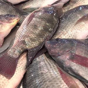 American standard quality 680 tons Whole Tilapia Round Fish, Red Tilapia Fish