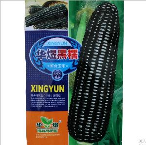 Touchhealthy supply easy to plant in 4 seasons sweet black corn seeds/maize seeds 15gram/bags