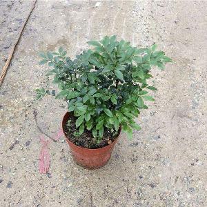 Lobular red sandalwood/ Lobular red sandalwood seeds for Afforestation tree
